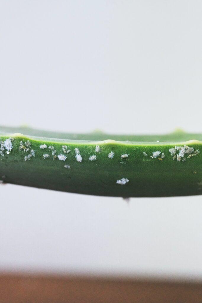 Listy Aloe se musí ořezávat po celou dobu sezony a růstu, jen tak zaručíte ten správný růst